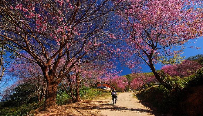 Con đường Mai Anh Đào Đà Lạt