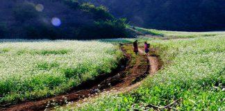 Hoa cả trắng Hà Giang
