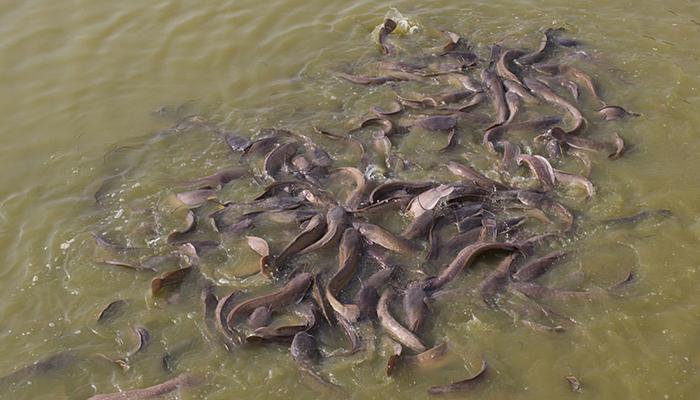 nông trại cá trê