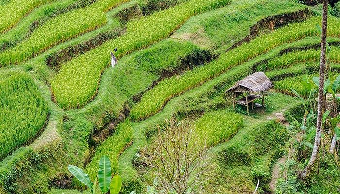 Thị trấn Ubud với những thửa ruộng bậc thang thanh bình