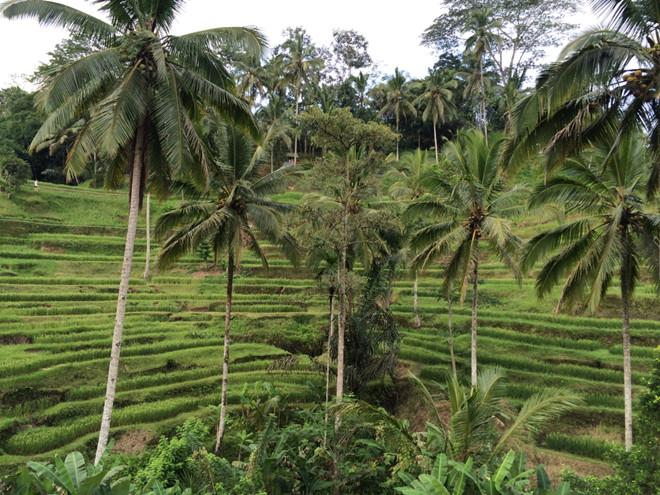 Ruộng lúa xanh mơn mởn ở ruộng bậc thang Tegalalang