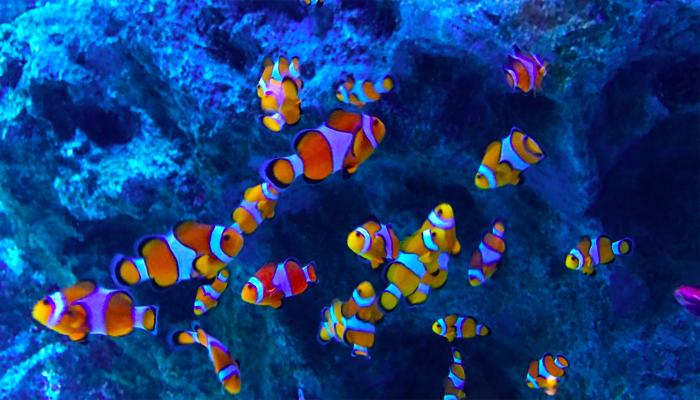 Cá nemo hay còn gọi là cá hề, luôn chiếm được cảm tình của khách du lịch nhờ vào bộ phim hoạt hình nổi tiếng Finding Nemo.