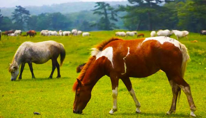 Những chú ngựa trên đảo Jeju từng là món quà yêu thích của các vị vua.