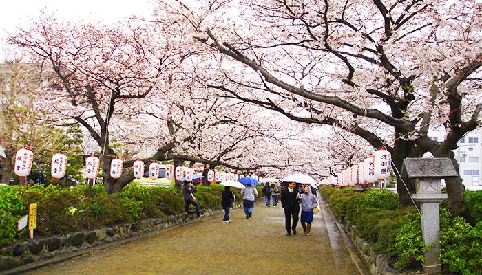 Thời điểm đẹp để ngắm hoa anh đào trong khuôn viên vườn Shinjuku Gyoen là cuối tháng 3 - đầu tháng 4 hằng năm nhé. Nguồn: wordpress.com