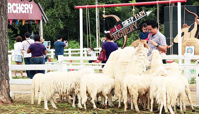 Hoạt động cho cừu ăn luôn được cả trẻ em và người lớn thích thú.