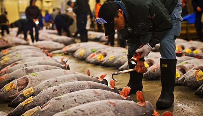 Buổi bán đấu giá cá ngừ sôi nổi diễn ra đầu ngày tại chợ. (Nguồn: samuraitour)