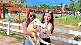 Hình đại điện của danh mục Pattaya Sheep farm - Nông trại cừu Pattaya