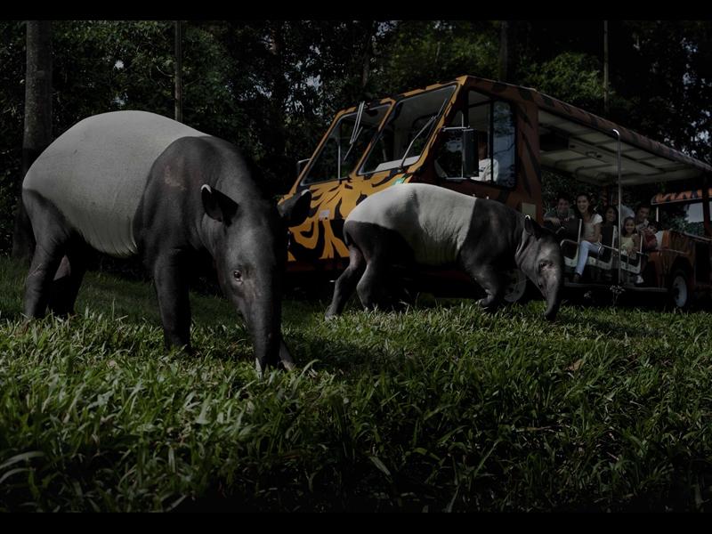 Không chỉ ban ngày, mà đến ban đêm, một tour tham quan vô cùng hấp dẫn và kỳ thú sẽ diễn ra. Đó chính là chuyến xem thú đêm Night Safari.