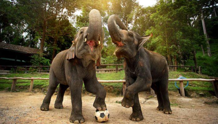 trại voi mae sa elephant camp