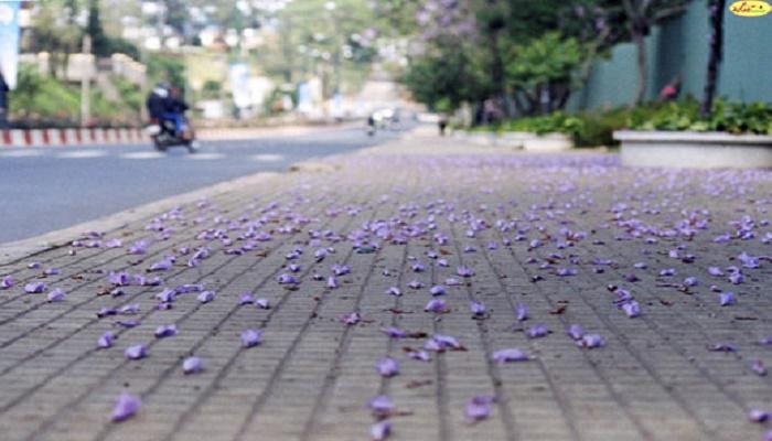 Con đường hoa phượng tím