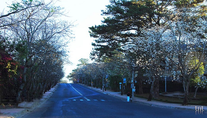 Con đường hoa ban trắng