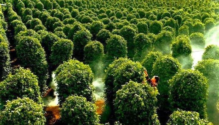 Rừng tiêu ở Phú Quốc