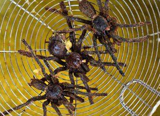 nhện chiên campuchia