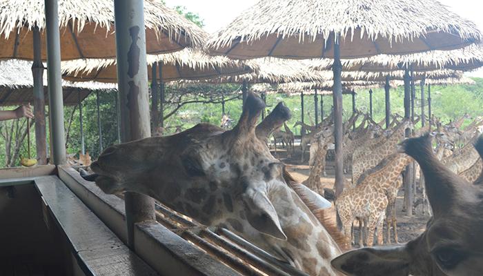 Kinh nghiệm đi Safari World Bangkok - Nhớ thử chơi và cho hươu cao cổ ăn