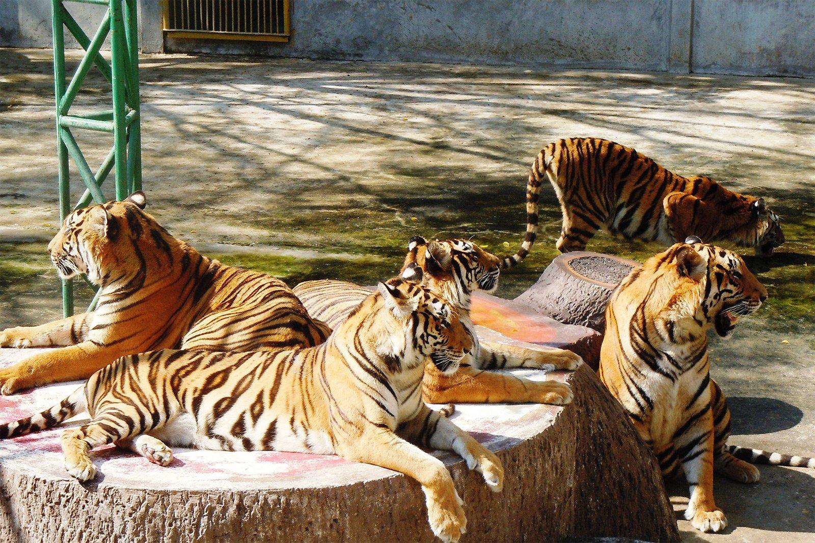 Hiện Sriracha Tiger Zoo đang sở hữu hơn 400 chú hổ Bengal