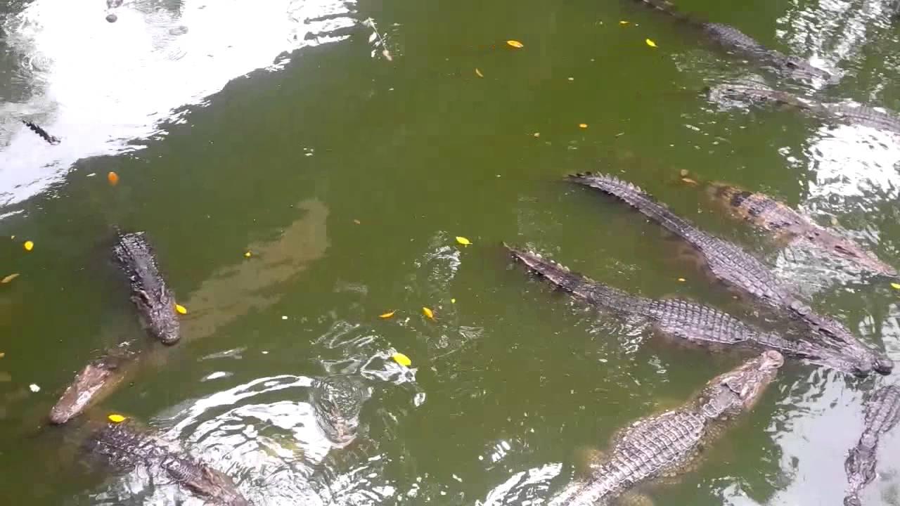 Những chú cá sấu con đang đắm mình dưới nước chờ tới giờ ăn