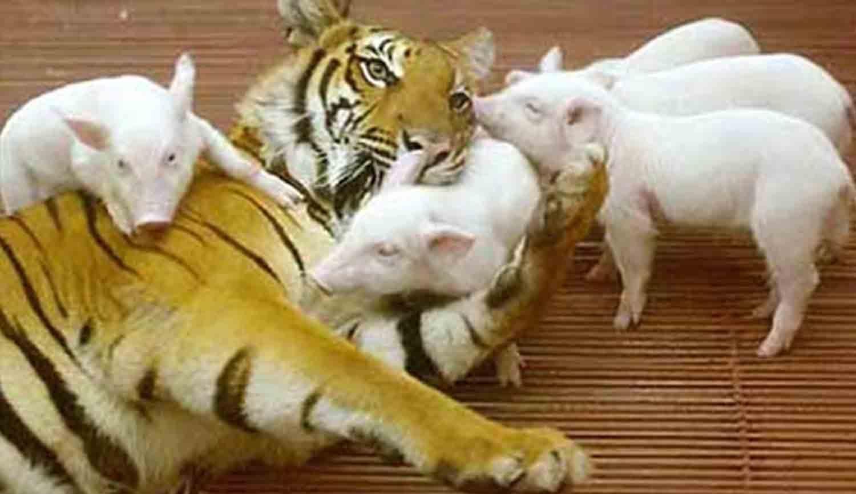 Hổ mẹ và heo con đang vui đùa với nhau