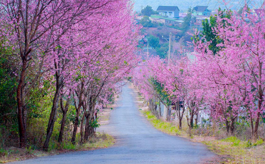 Vào mùa hoa anh đào mọi cung đường Đà Lạt đều ngọt ngào thế này
