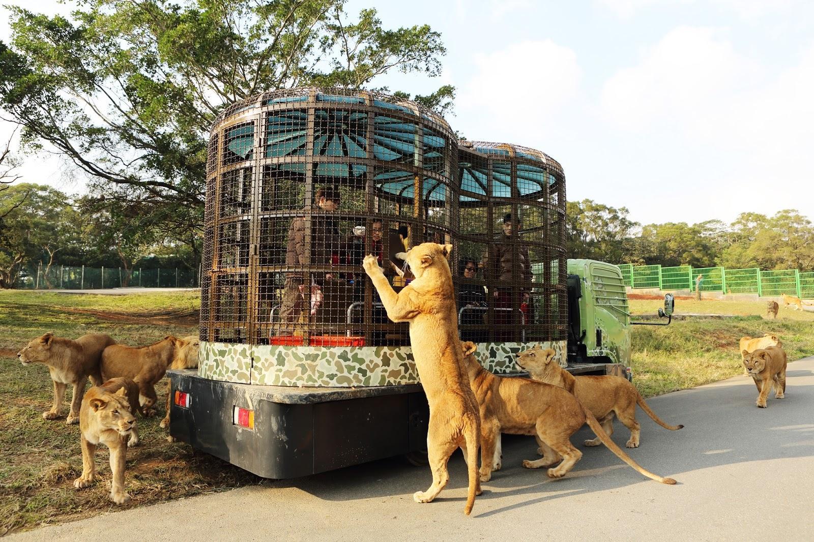 Trải nghiệm thú vị tại Safari khi cho sư tử ăn