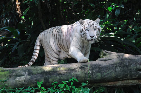 Singapore Zoo là một trong những nơi bảo tồn cá thể hổ trắng duy nhất trên thế giới