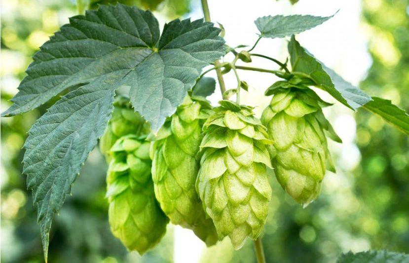 Hoa Houlon, nguyên liệu quan trọng để tạo hương vị đặc trưng cho bia Tiger