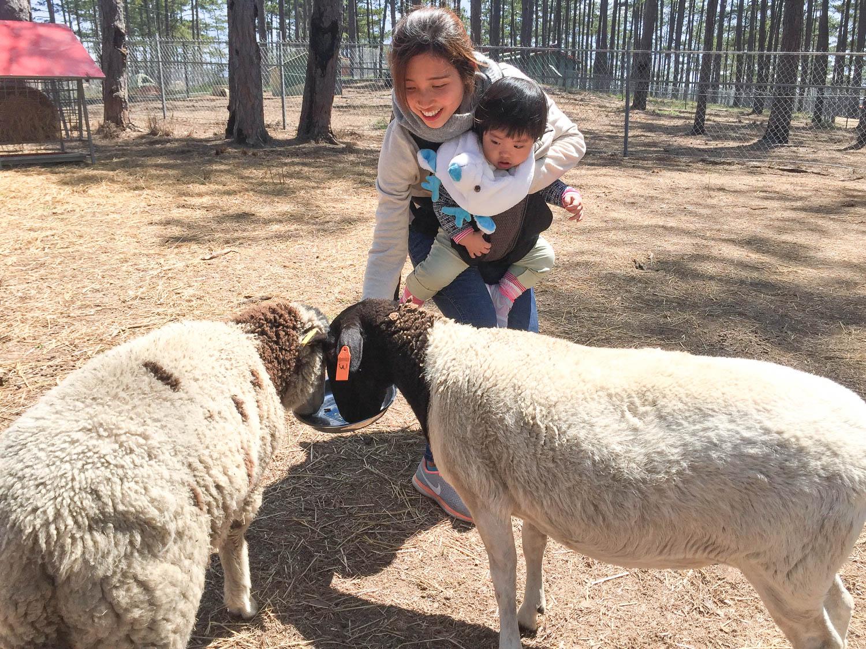 Làm quen với các chú cừu lông trắng muốt khiến bạn nhỏ nào cũng thích thú