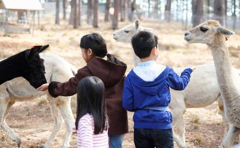 """Các bạn nhỏ tận tay cho những """"chú"""" lạc đà dùng bữa"""