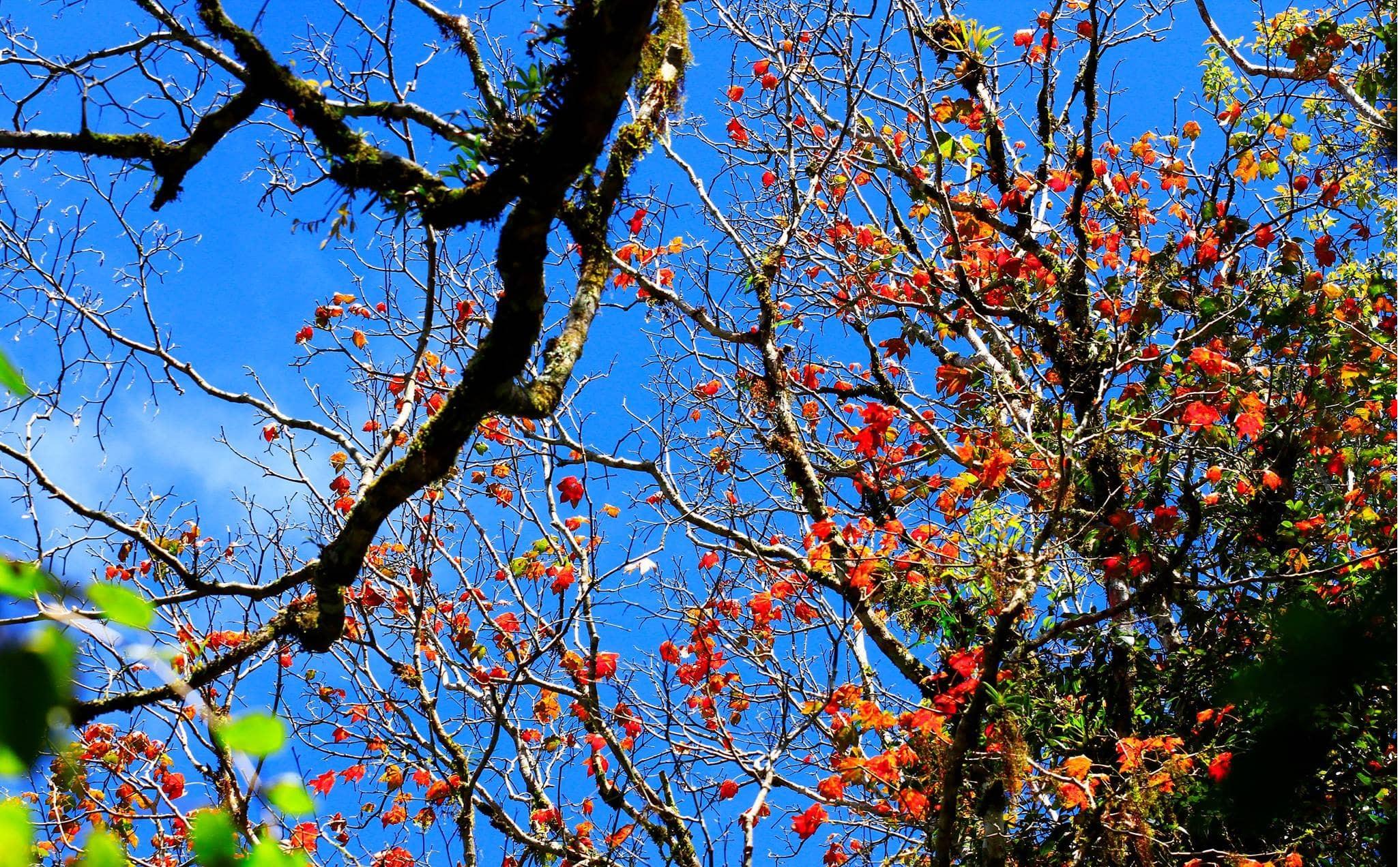 Bạn sẽ được ngắm lá phong đỏ tại công viên quốc gia núi Bidoup