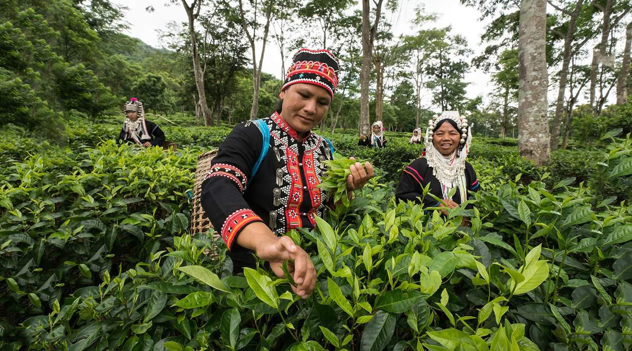 Cùng người dân địa phương trải nghiệm hái những búp trà tươi non và hít thở tinh hoa đất trời