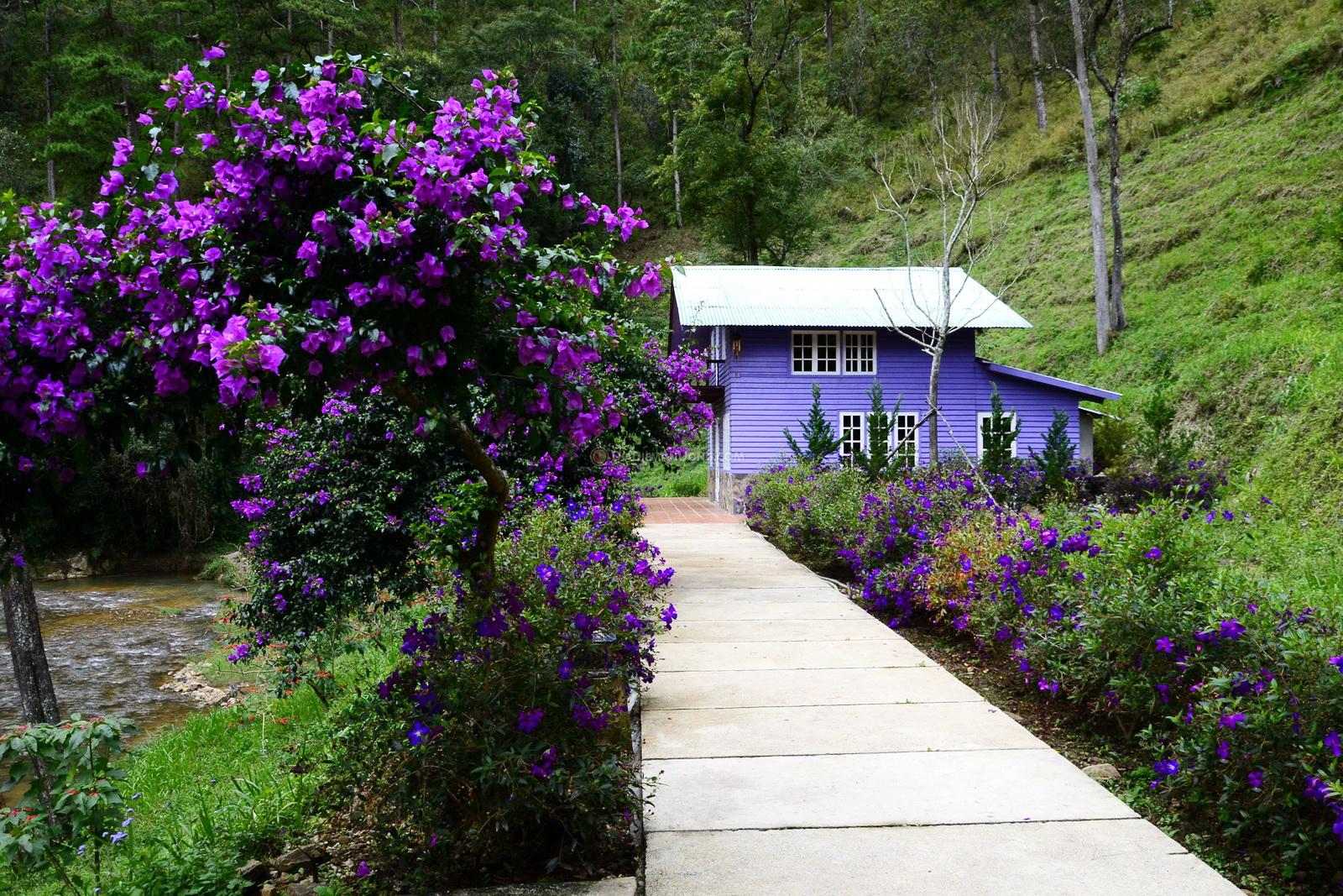 Những ngôi nhà màu tím lãng mãn lấp ló dưới tán hoa sim