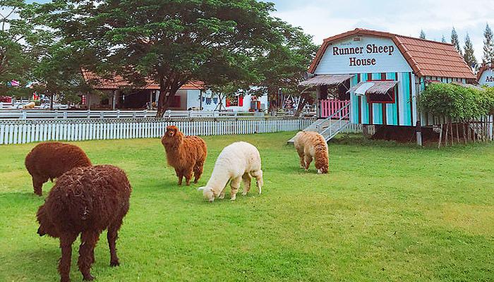 """Nông trại còn có những chú lạc đà với bộ lông thật mềm mại và khuôn mặt """"đốn tim""""."""