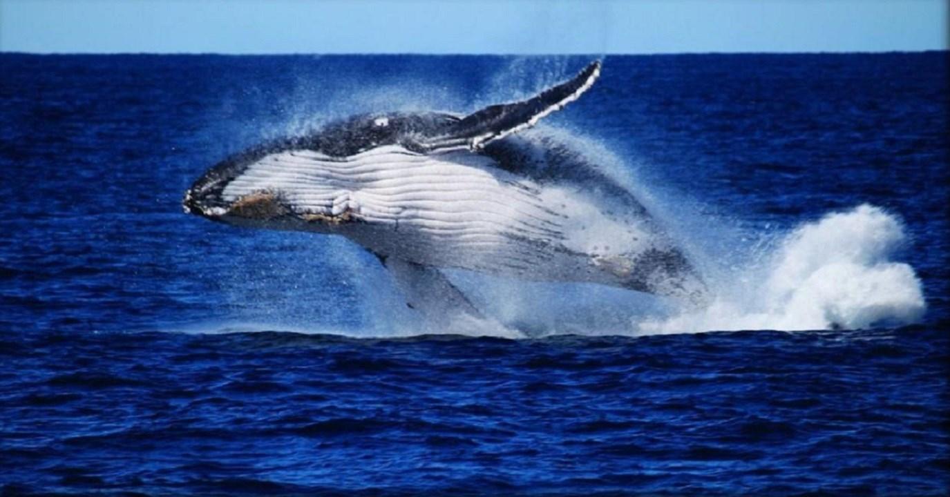 Moreton Bay Whale Watching