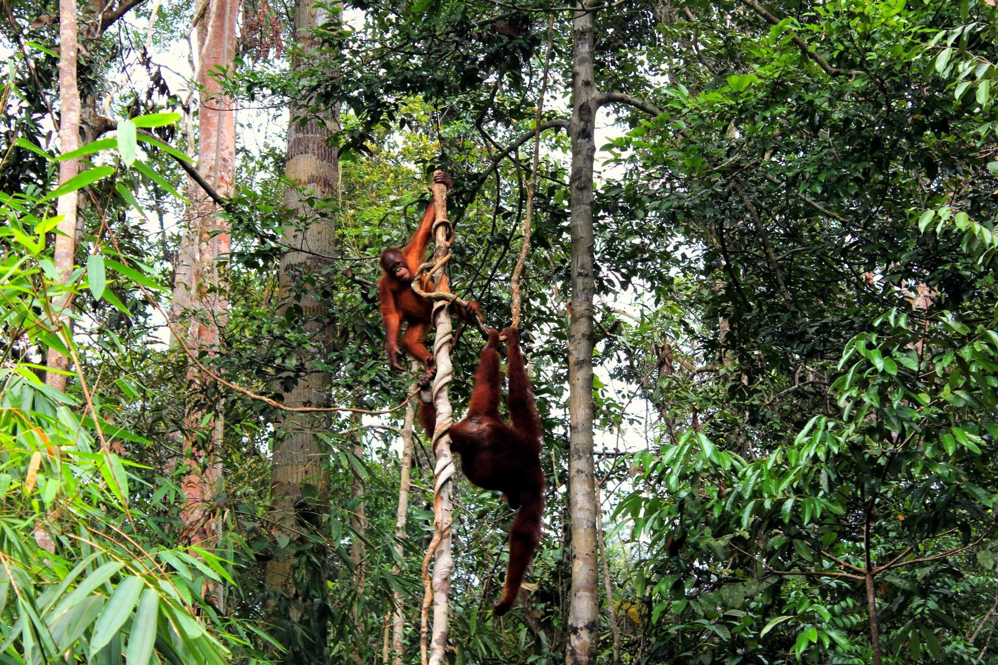 Tour Tham quan Vườn thú Semenggoh, Làng Văn hóa và Trại Cá sấu Jong